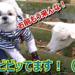 シーズーちゃんの大冒険♡ヤギと初対面(*´ω`*)