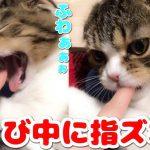 あくびした瞬間口に手を入れられるいたずらをされた猫ちゃんは・・・?♡