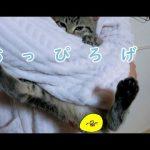 子猫がお洋服の裾に吸い付いてくるスーパー甘えん坊タイム♡