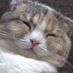 スコティッシュフォールドちゃんの寝落ちシーンに萌え〜♡