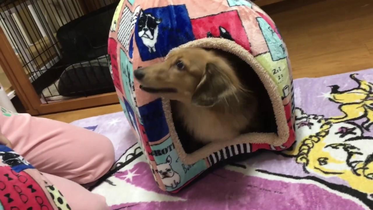 新しいベッドにウキウキなミニチュアダックスフンドちゃんが無邪気でかわいい♡