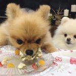 「私のなのに・・・」食いしん坊なお兄ちゃん犬にケーキを食べられてしまうポメラニアン♡