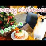 【クリスマス】凄すぎる!ワンちゃん用のクリスマスケーキに柴犬ちゃんがお喜び♡
