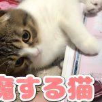 雑誌を読んでると邪魔しにきた猫ちゃんが新しいパターン過ぎる件!(*´ω`*)