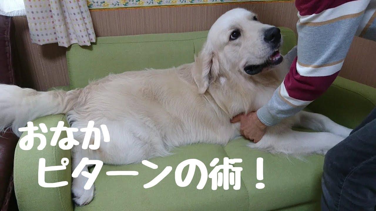 お女子か〜!?体重計嫌いなゴールデンレトリバーちゃん♡