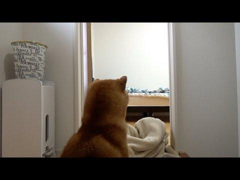 話題のいなくなったらドッキリを試してみたら一瞬で気づいちゃった柴犬ちゃんですが・・・?