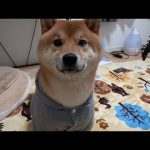 福袋♡飼い主さんとおそろいのお洋服をもらった柴犬ちゃん(*´ω`*)