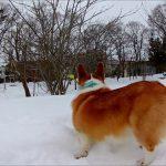 ルンルン(*´ω`*)雪の中を楽しげに歩くコーギーちゃんがかわいい♡