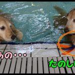 プールで遊んでいましたが・・・おもちゃ返して〜と言えないゴールデンレトリバーちゃん♡