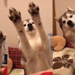 お手とおかわりは両手を出せばで省略できると考えたハスキーちゃん可愛すぎる件(´ε` )
