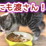 残ったご飯をエアー砂かけ♡可愛いスコティッシュフォールドの子猫ちゃん!