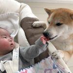 感動!♡柴犬ちゃんが泣いている赤ちゃんを泣き止ませようと・・・?