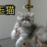 エキゾチックショートヘアの子猫ちゃんが必殺ねこぱんち♡あまりの可愛さにノックアウトしちゃう