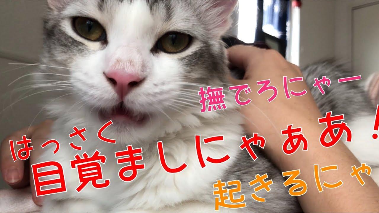 早朝に起こしに来る子猫ちゃん♡早く起きないと牙をむくニャっ(・∀・)
