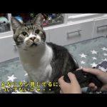 ゲームに夢中な飼い主さんのもとにやってきておねだり攻撃する猫ちゃん♡