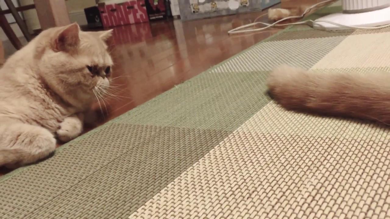 他の猫さんのしっぽで遊んでいたら怒られそうになったエキゾチックショートヘアちゃんが・・・?♡