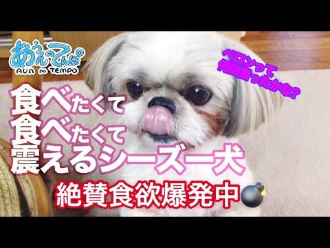 ご飯の催促が可愛すぎる♡待ちきれないシーズーちゃん(*´ω`*)