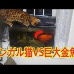 とっても大きな金魚さんに気を取られていたらお顔ごと水に突っ込んでしまったベンガルちゃん♡