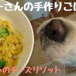 作り方あり(・∀・)手作りリゾットに大満足なゴールデンレトリバーちゃん♡