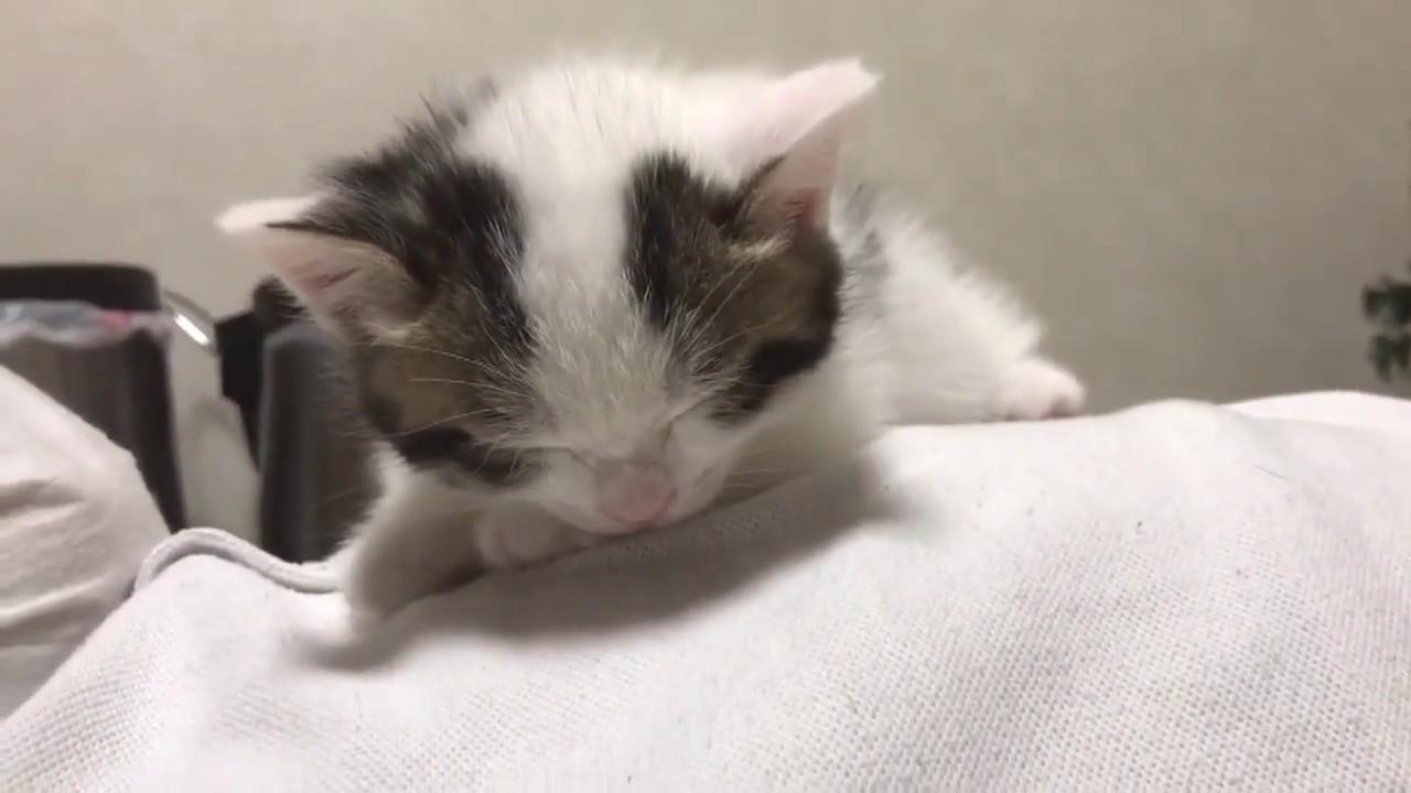 なんでそこ〜!?男の子のお腹の上で寝ようとする子猫ちゃんが超絶可愛い件♡