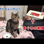 貰う前からしっぽブンブン!マグロにテンションMAXの猫ちゃん♡
