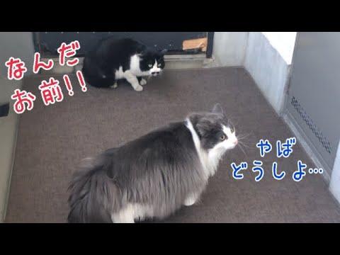 お散歩の予行練習をしていたら、他の猫ちゃんとバッタリあってビックリ!な猫ちゃん♡