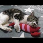 エビのぬいぐるみに全力蹴り蹴り!エキサイティングな猫ちゃん♡