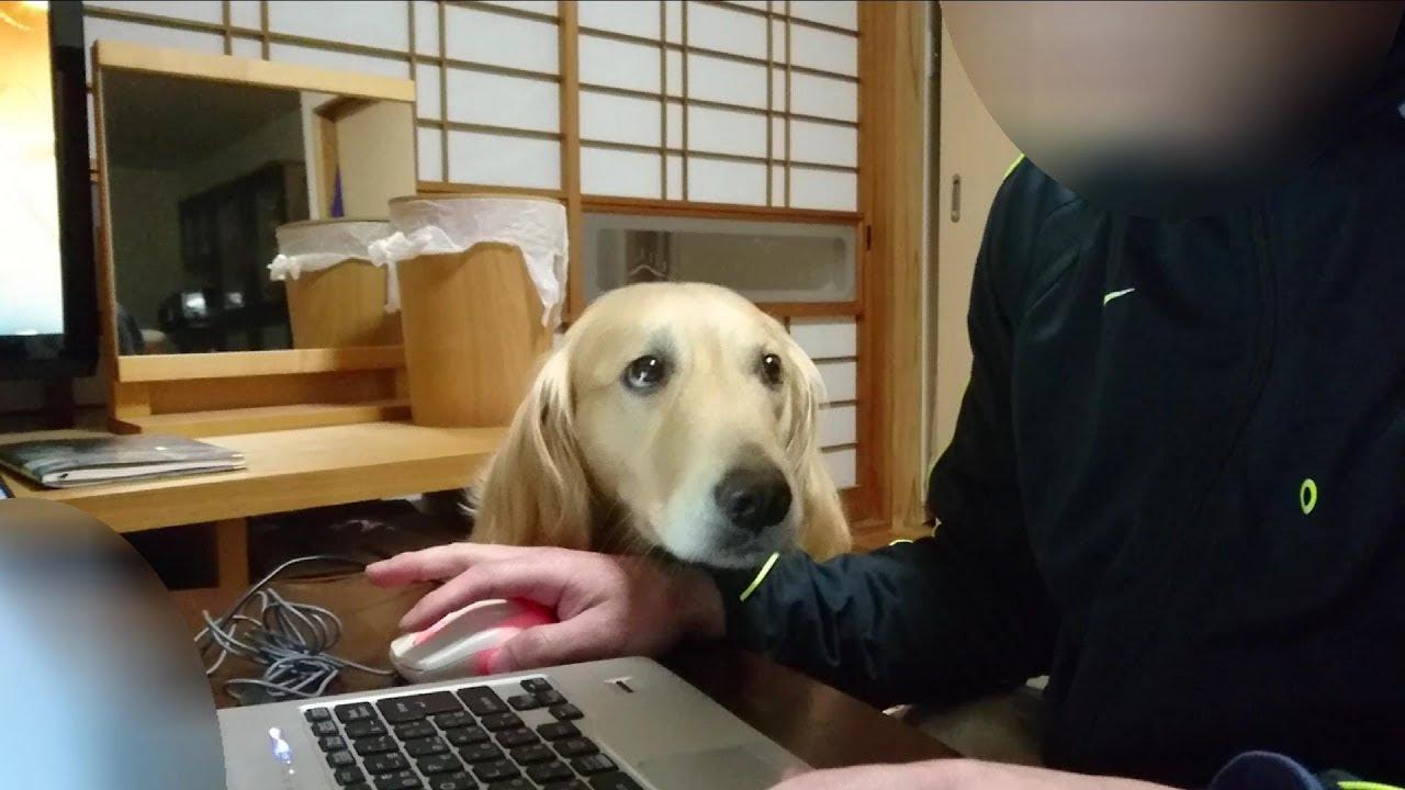 パソコン中の飼い主さんをペロペロ、かじかじ。愛が溢れて止まらないワンちゃん♡