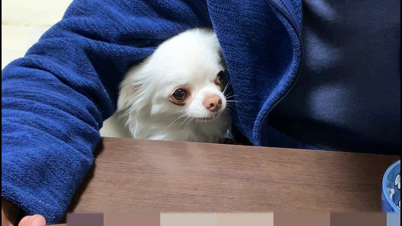飼い主さんのご飯が欲しくて可愛くおねだり♡そんなふうに鳴かないで〜(*´ω`*)