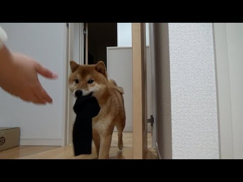 犬の手も借りたい?(*´ω`*)お洗濯ものを運んできてくれるスーパーヘルパー柴犬ちゃん♡