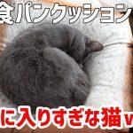 もちもちっ食パンクッションがお気に入りすぎる猫ちゃん♡