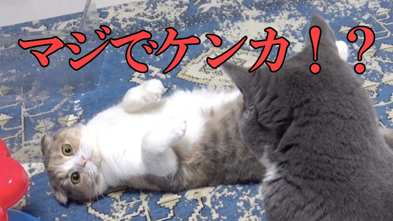 喧嘩?じゃれ合い?猫ちゃんたちに飼い主さんもハラハラ・・・!!
