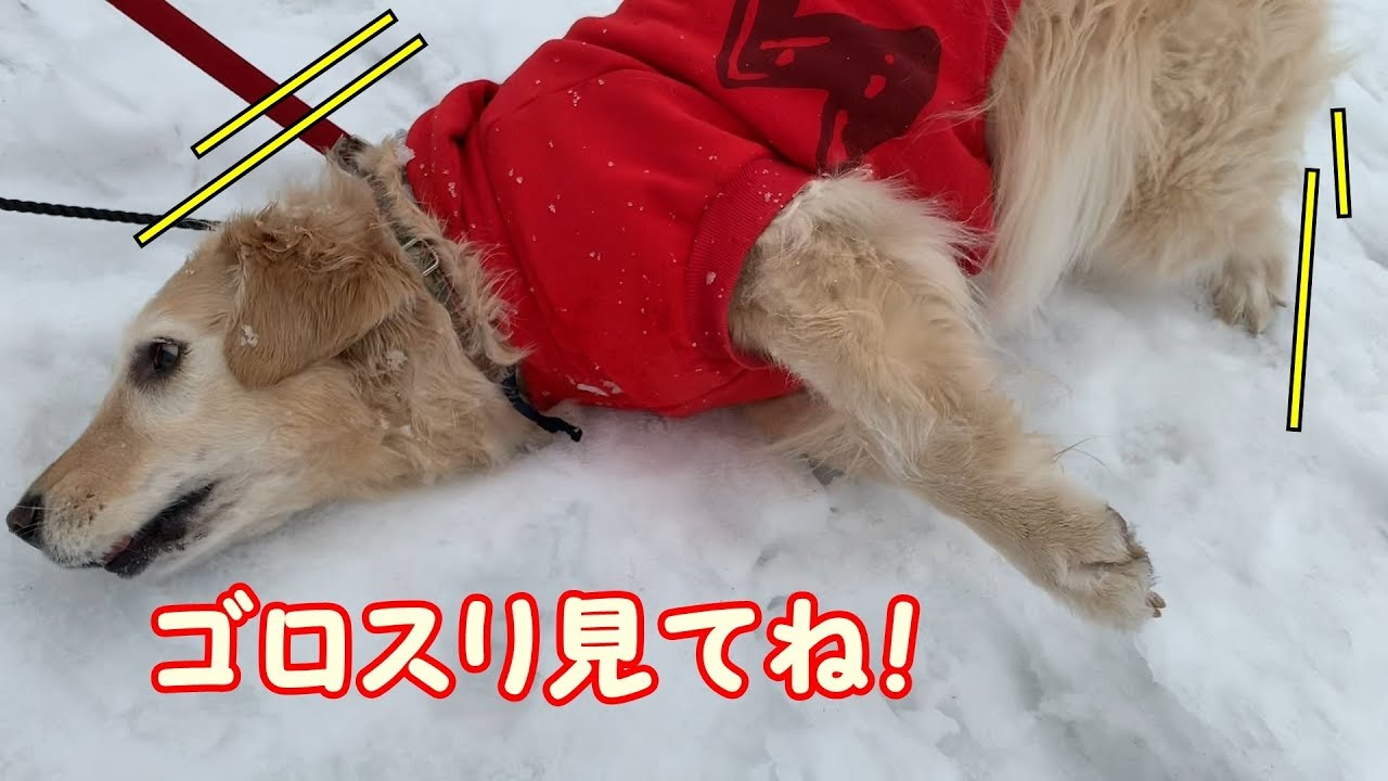 雪の上でごろ~ん♡ゴールデンレトリバーちゃんが可愛すぎる!!
