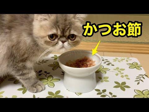 エキゾチックショートヘアの子猫ちゃん、ドキドキ鰹節デビュー♡