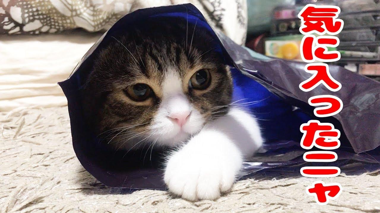 気分はまるで秘密基地?♡スコティッシュフォールドちゃんの新しい隠れ家(^ν^)