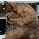 パソコンに嫉妬?♡キーボードを占領するソマリちゃん(´ε` )