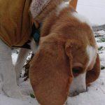 はじめての雪を思わず食べちゃうビーグルちゃんのお散歩(^ν^)