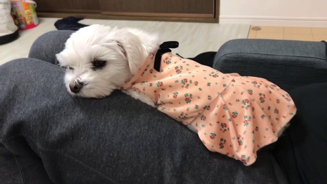 マルチーズちゃんの寝顔が天使すぎる〜♡
