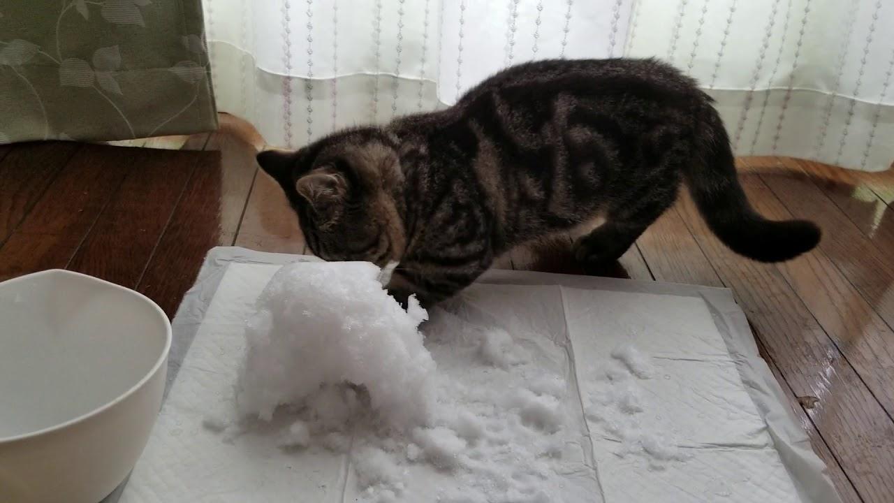 はじめての雪を楽しむマンチカンの子猫ちゃん♡