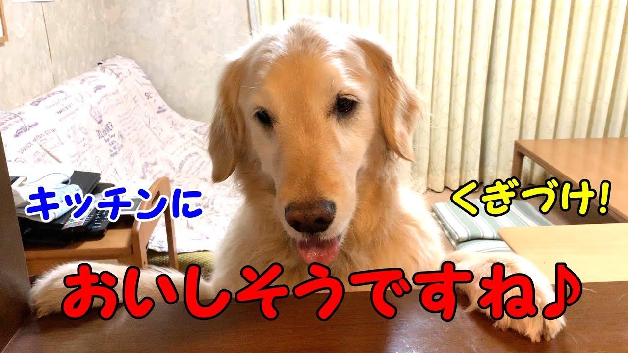 待ちきれない!マグロにテンションMAX(´ε` )なゴールデンレトリバーちゃん