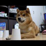 シャッフルゲームに挑戦♪柴犬ちゃんがもしかしたら天才かもしれない件(*´ω`*)