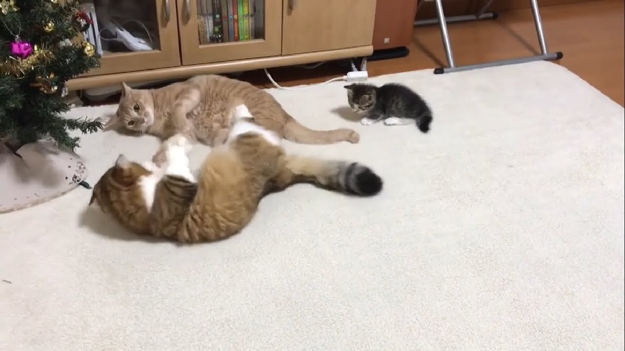 感動!子猫ちゃんがケンカの仲裁を見事成功させたよ(*´ω`*)