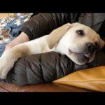 飼い主さんの腕枕で添い寝するラブラドールレトリバーちゃん♡