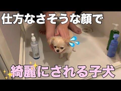 お湯なしシャンプーでキレイキレイスする子犬チワワちゃん(*´ω`*)