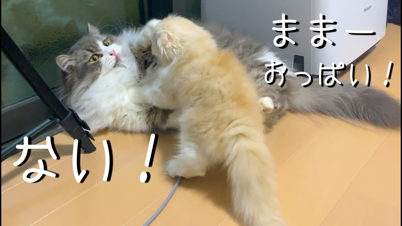 パパからお乳は出ないのに・・・!子猫ちゃんが必死にさがしていたものは♡