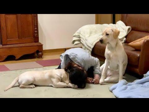 ラブラドールレトリバーちゃんの爪切り中、飼い主さんに悲劇が・・・!(´・ω・`)