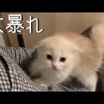 寝ようとしたのに〜!子猫ちゃんの構って攻撃に困っちゃう〜♡