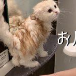 子猫ちゃんの初めてお風呂、うまく入れるかな?(*´ω`*)