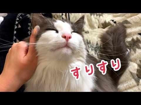 飼い主さんにスリスリと頭を擦り付けるノルウェージャンフォレストキャットちゃんが可愛すぎる!♡