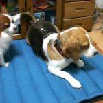 犬同士のけんかを仲裁するラブラドール。そのやさしさに癒されます。